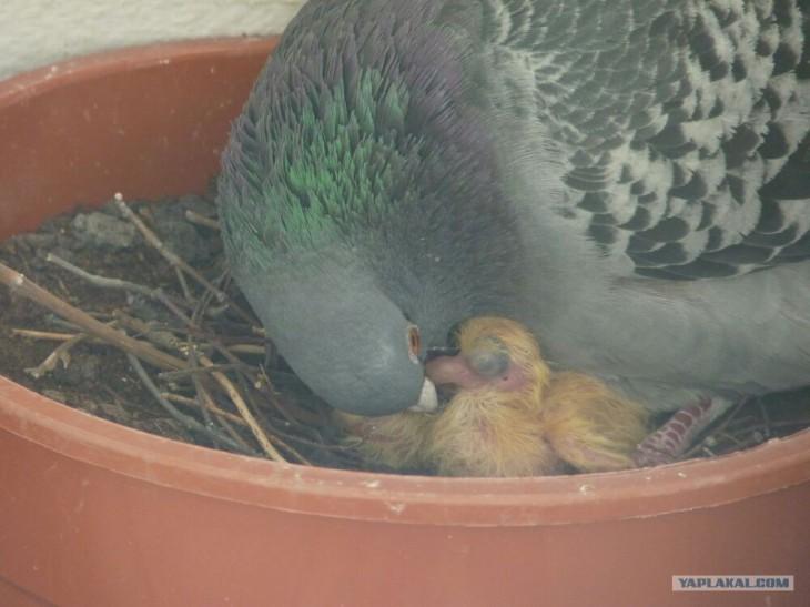 Как избавиться от голубей на балконе: простые способы